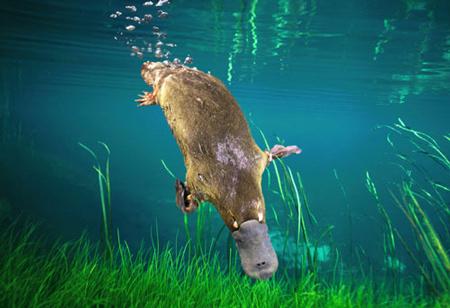 Platypus.jpg