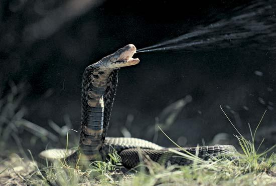 Moçambique spott kobra