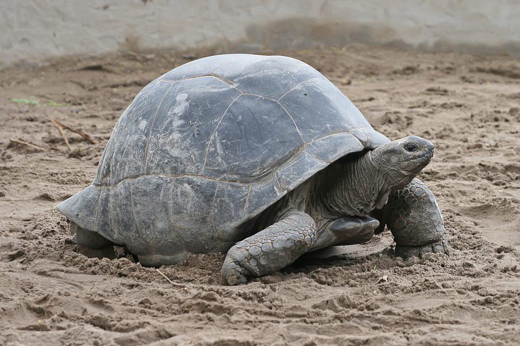 Aldabrasköldpadda